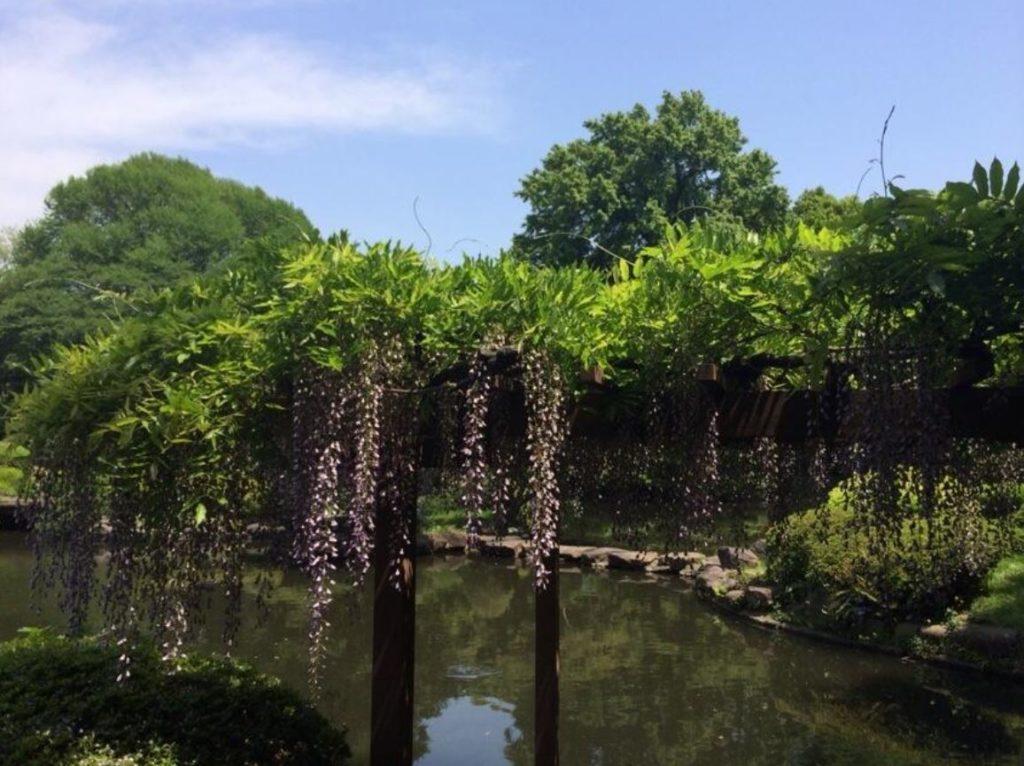 新宿御苑の藤