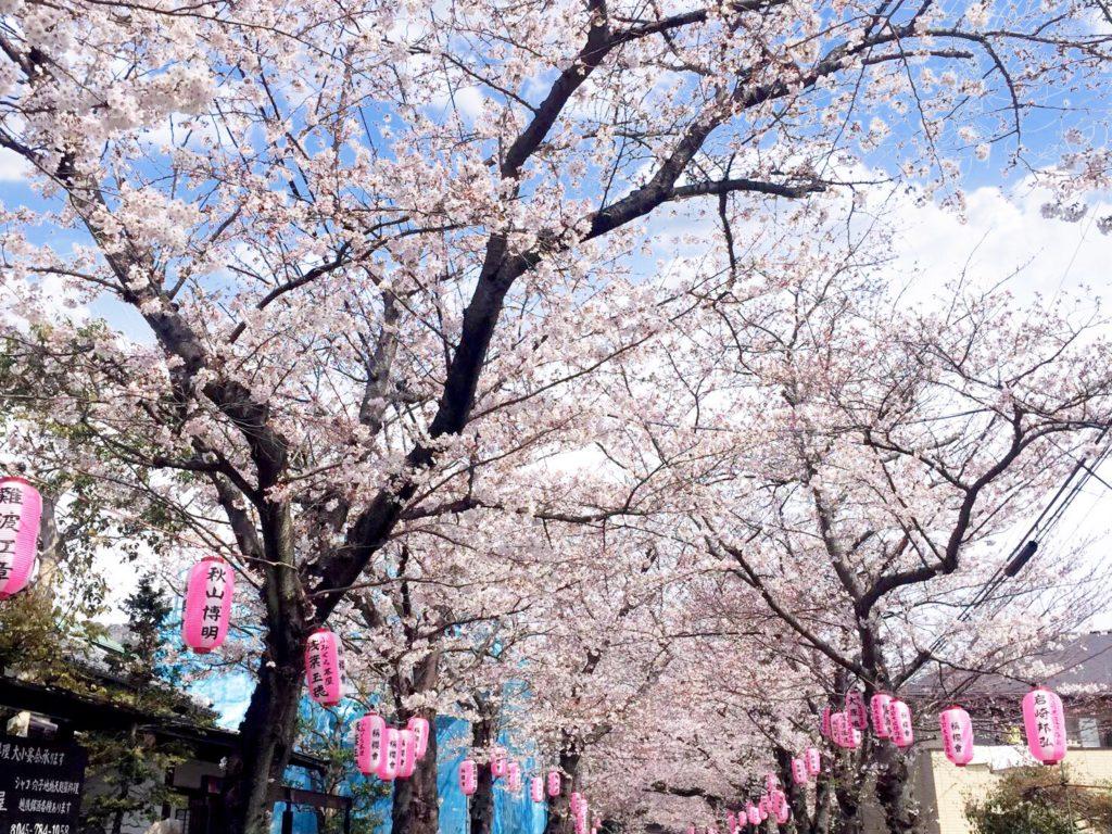 称名寺の桜