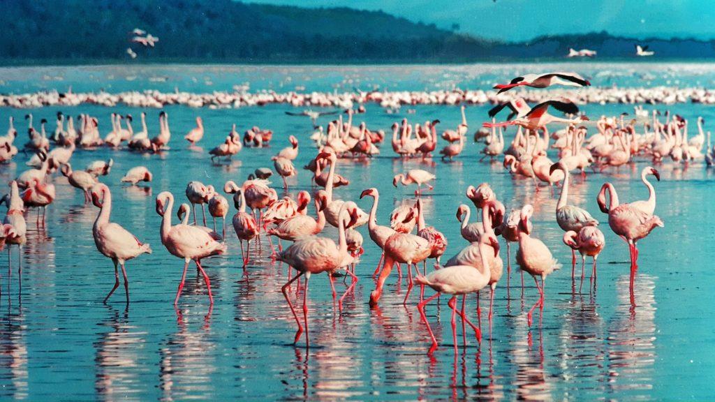 フラミンゴの大群