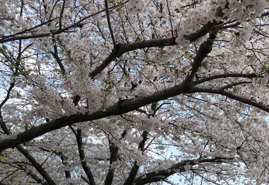 牧野ヶ池緑地公園 桜