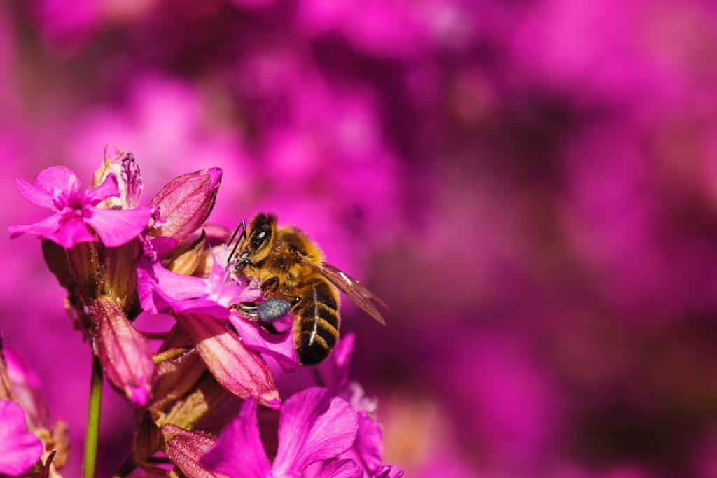 ピンクの花とミツバチ