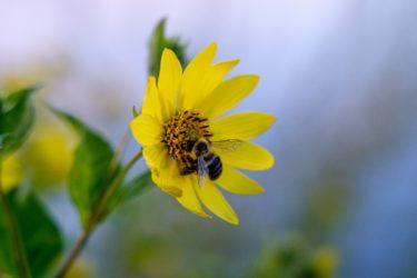 一妻多夫の生き物、ミツバチとチョウチンアンコウの奇妙な生涯