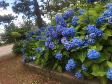 神奈川県最大級!横浜・八景島シーパラダイスで紫陽花めぐり