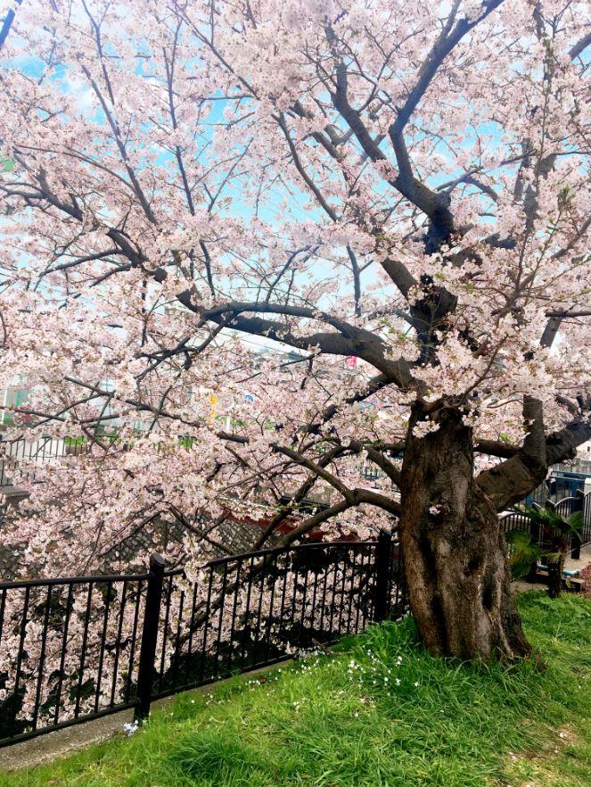 金沢文庫桜並木