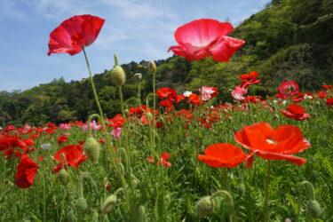 花の開花で季節ごとに色が変わる「くりはま花の国」と周辺観光・グルメスポット情報