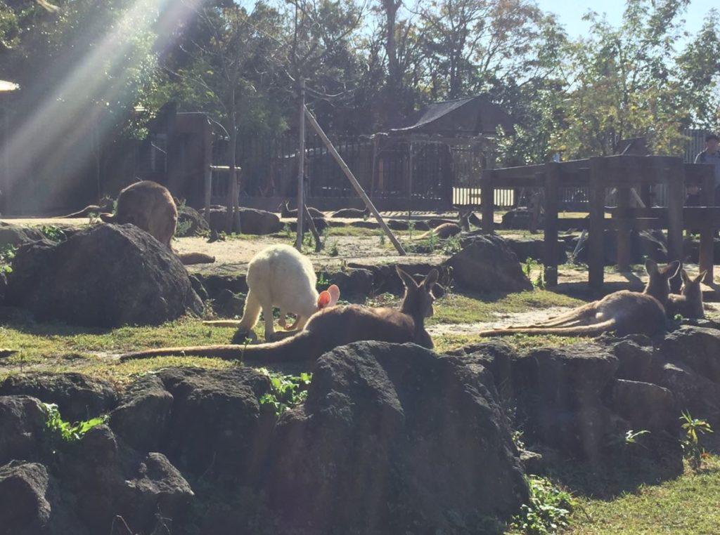 金沢自然公園・金沢動物園オセアニア区カンガルー