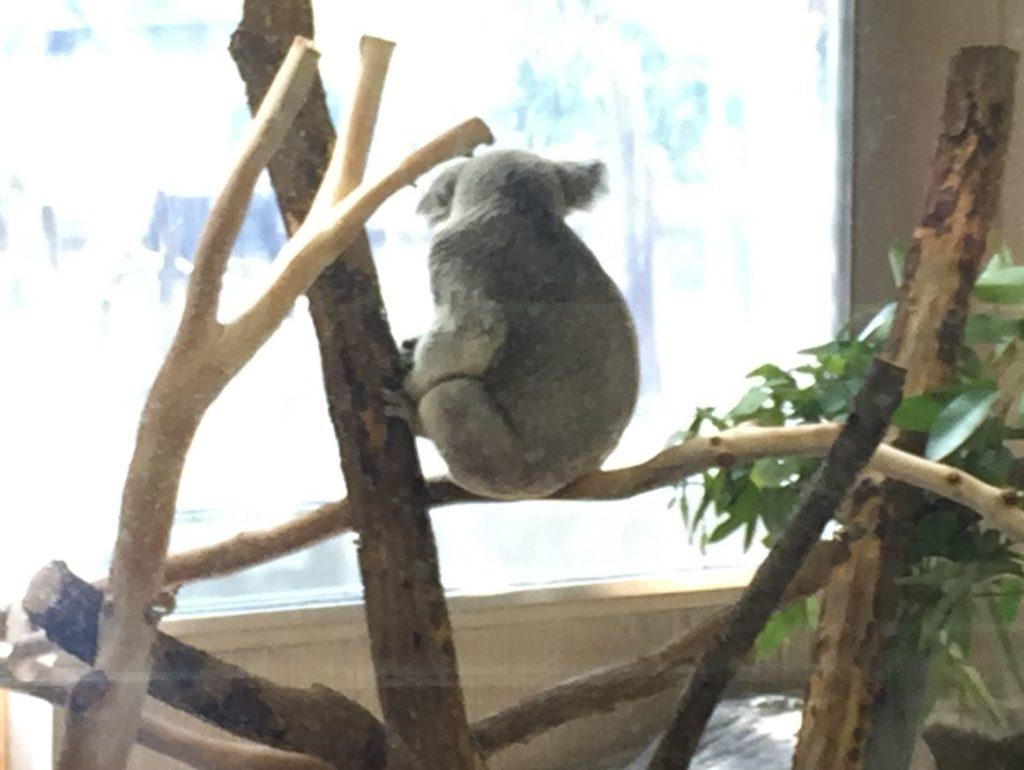 金沢自然公園・金沢動物園オセアニア区コアラ