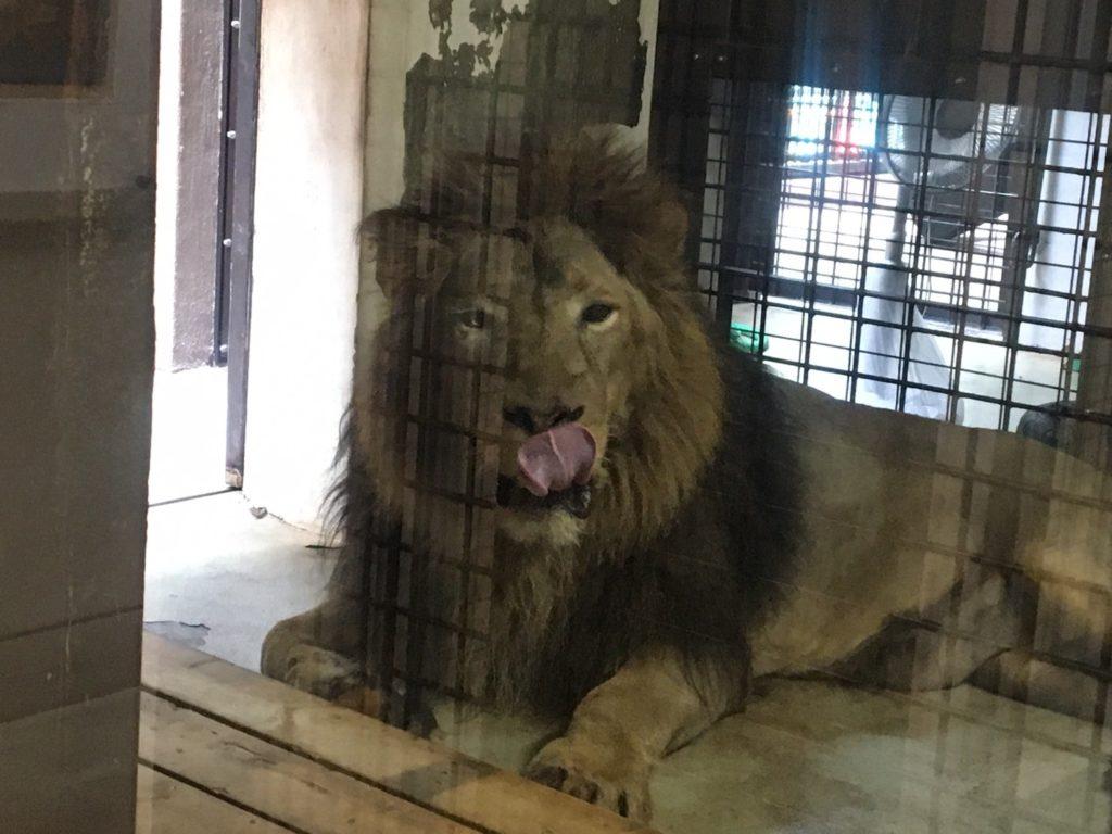野毛山動物園ライオン