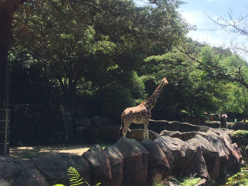 金沢自然公園・金沢動物園アフリカ区キリン