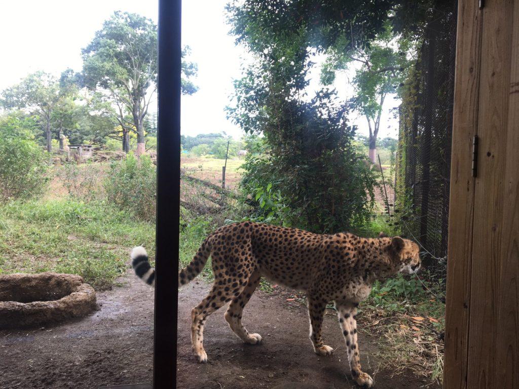 よこはま動物園ズーラシア・四種混合展示・チーター
