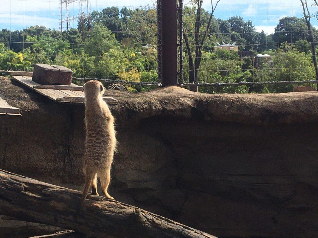 よこはま動物園ズーラシア・ミーアキャット