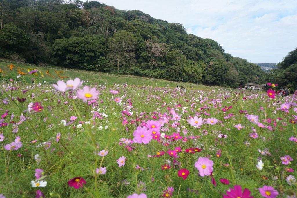 くりはま花の国コスモス