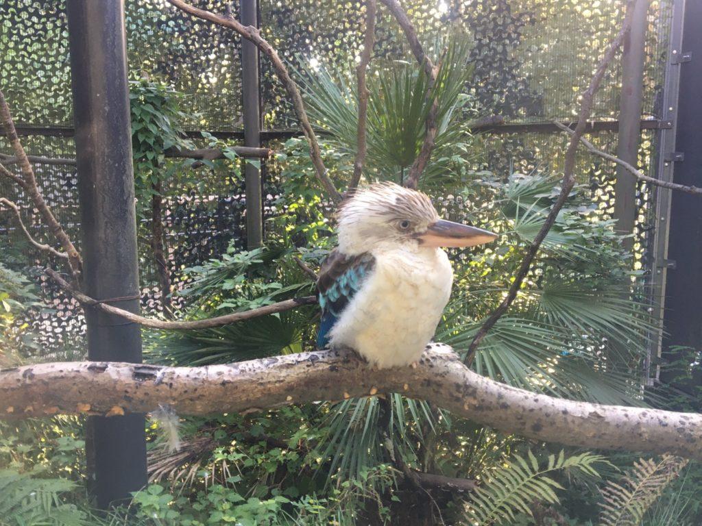 金沢自然公園・金沢動物園アオバネワライカワセミ