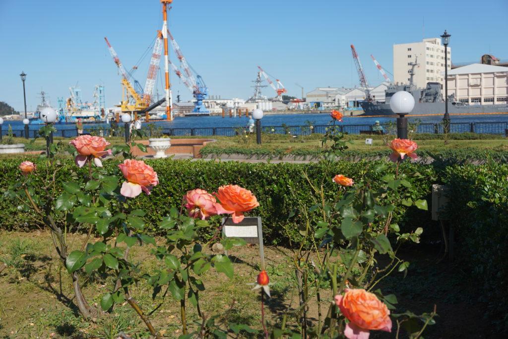 横須賀ヴェルニー公園 バラ