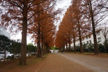 平塚市総合公園メタセコイア並木