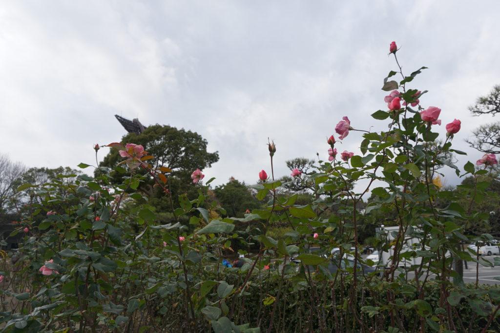 平塚市総合公園バラ園