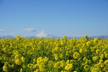 一面の菜の花と富士山の絶景!長井海の手公園・ソレイユの丘