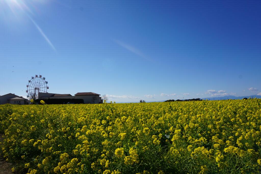 長井海の手公園・ソレイユの丘 入口花壇 菜の花畑と観覧車