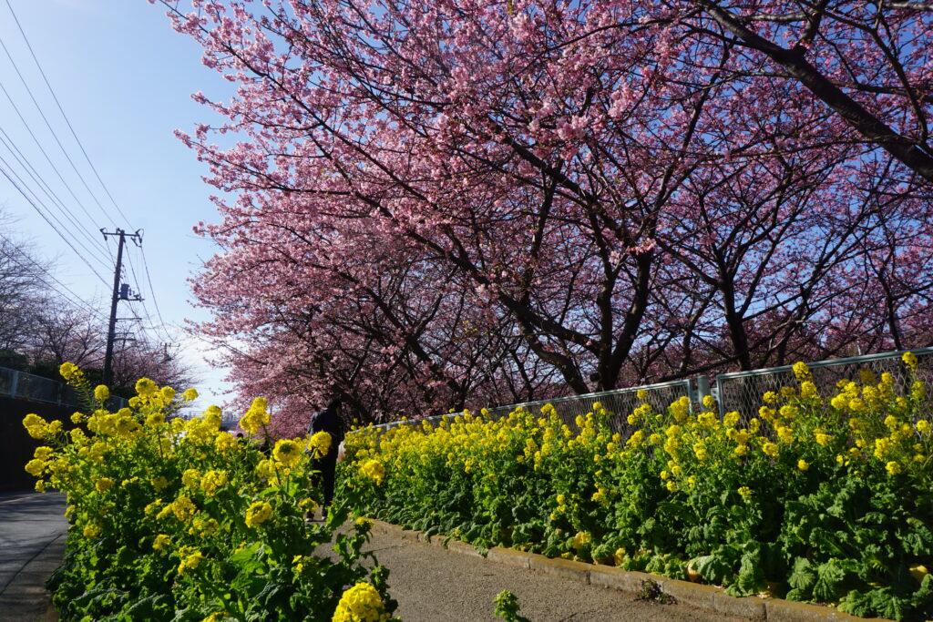 三浦海岸 河津桜 桜並木 菜の花