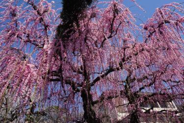 圧巻のしだれ梅が咲き誇る梅の名所・小田原「曽我梅林」