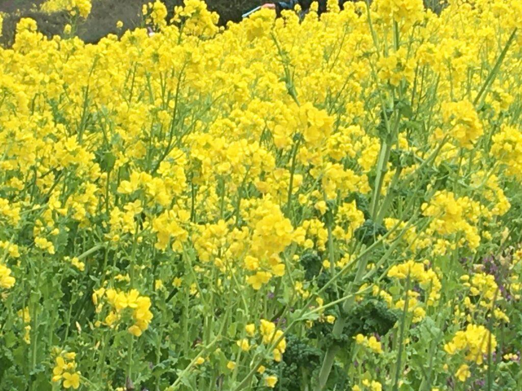 金沢自然公園 菜の花畑