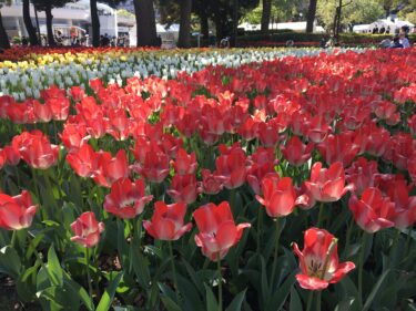 横浜公園チューリップ