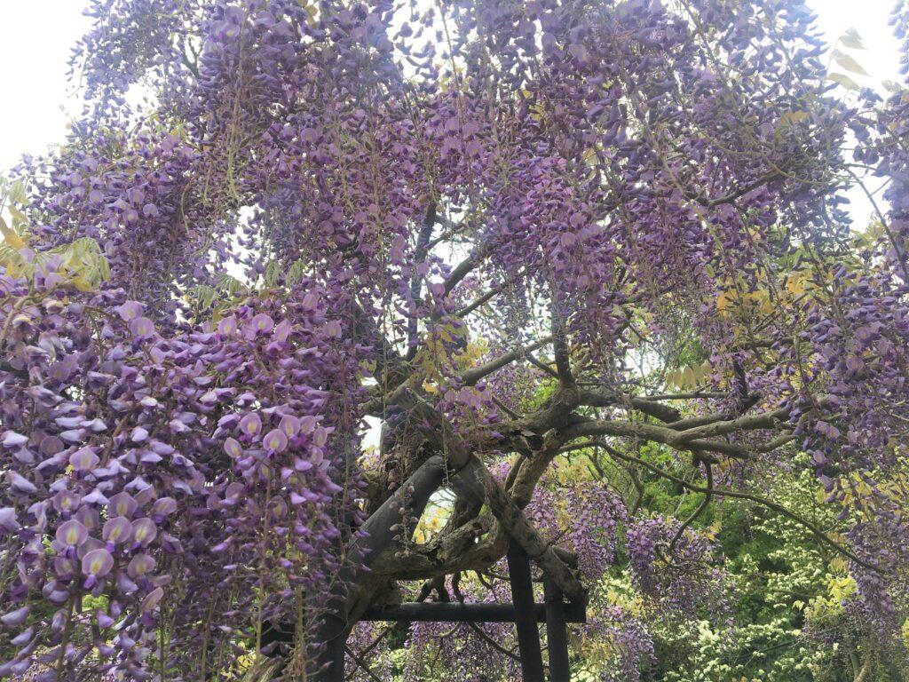 横須賀しょうぶ園 藤
