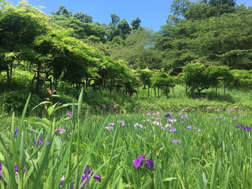 横須賀しょうぶ園 菖蒲