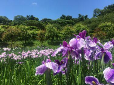 国内有数規模のハナショウブ園「横須賀しょうぶ園」