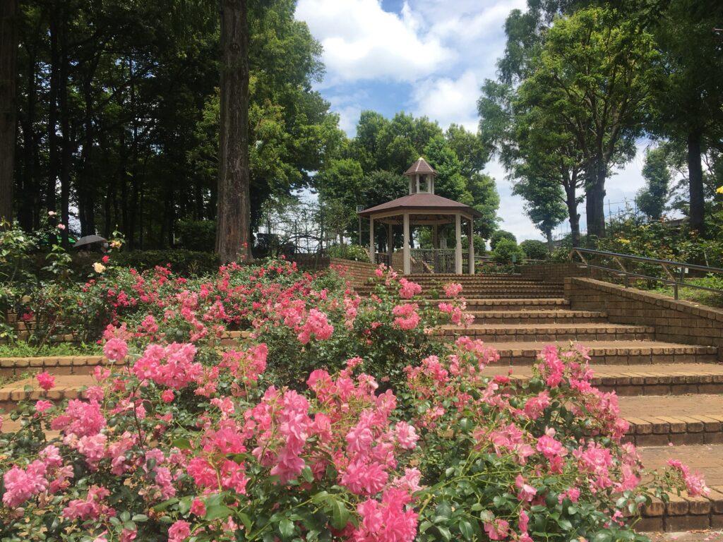 相模原北公園 東フロントのバラ 2021年6月13日撮影