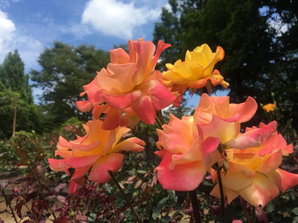 相模原北公園 バラ花木園 2021年6月13日撮影