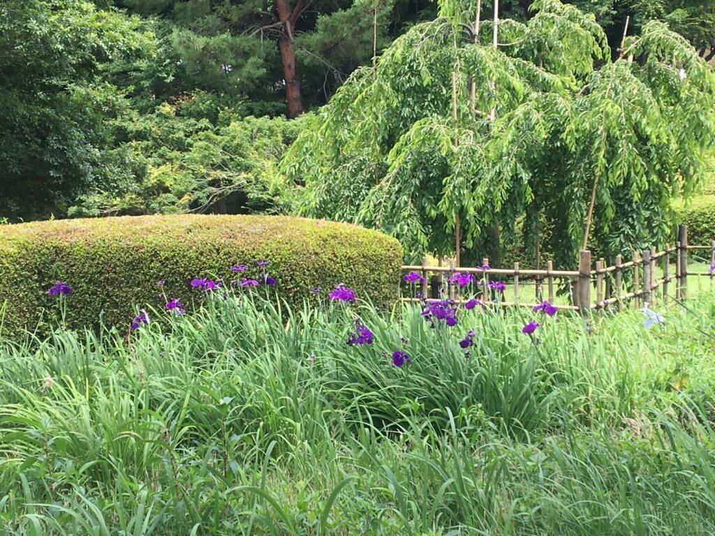 相模原北公園 菖蒲田 2021年6月13日撮影